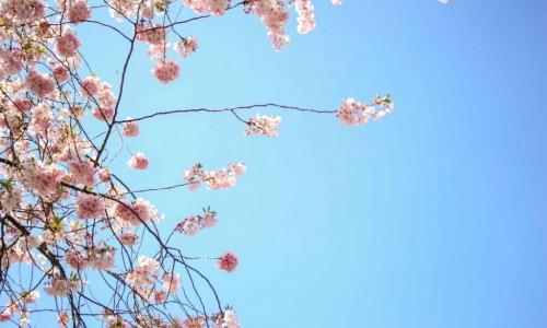 Augsburg Cherry Blossom rd-2