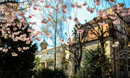 Augsburg Cherry Blossom rd-3
