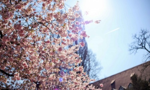Augsburg Cherry Blossom rd-9